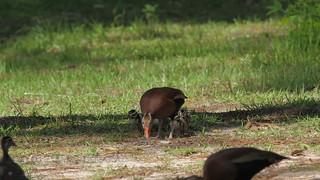 2017-06-09 Two-day old Black-bellied Whistling ducks meet two-week old Wood ducks