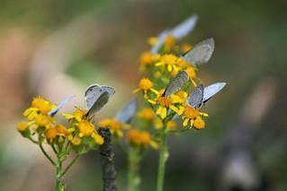 Little Blue Butterfly feeding frenzy