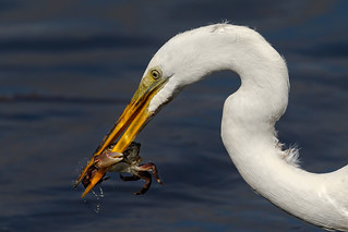 Great Egret's great catch