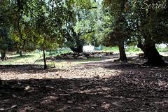 All'ombra, finalmente - Villagrande Strisaili (Franco Serreli) Tags: villagrandestrisaili alberi albero bosco foresta leccio lecci gregge ombra ogliastra boscodilecci