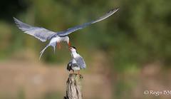 ça drague... (Régis B 31) Tags: charadriiformes commontern laridés sternahirundo sternepierregarin ariège bird domainedesoiseaux mazères oiseau vol action nourrissage
