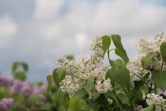 Spring Lilacs (hbailliebrown) Tags: lilac lilacs whitelilacs spring farm farming dps ontario canada scent tree floweringtrees roadside