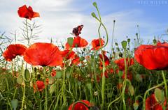 poppies (Neal J.Wilson) Tags: flowers poppy poppies fields wild nature summer plants red nikon d3200 denmark danishlandscapes nordic scandinavia