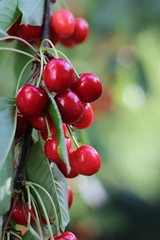 Cherries (berlin_chick) Tags: cherries kirschen tree leaves baum blaetter fruit obst food essen red green rot gruen sommer summer