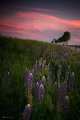 IMG_8330-2 (figoosia) Tags: kwiaty łubin podlasie poland sunset sky