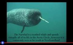 Le tante funzioni del corno più lungo dei mari (mondoanimale) Tags: animali mammiferi marini artico mare