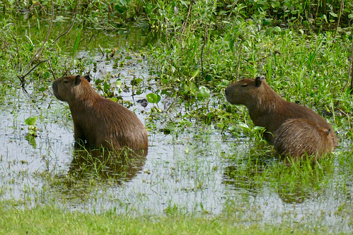 brazil-pantanal-caiman-lodge-capybara-bathing-copyright-thomas-power-pura-aventura