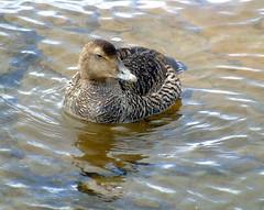 Eider duck (stuartcroy) Tags: orkney island eider duck ducks water beautiful bird