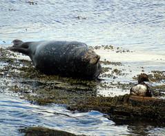 I'm not listening (stuartcroy) Tags: orkney seal duck duckling ducks water island scotland sea sony still