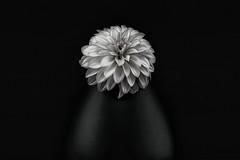 Dahlia and vase (Funchye) Tags: dahlia vase flower blomst nikon d610 105mm monochrome