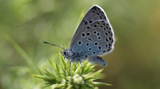 Large Blue - in explore