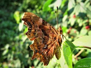 Butterfly 1338