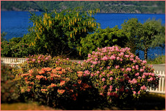 Old summer place garden (JensRongved) Tags: flowers blue sea fjord fjords fence road rhododendron laburnum norway bush enclosure fencing staket stakitt