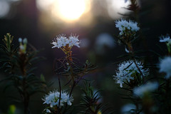 Sunset with labrador tea flowers (allan-r) Tags: bog moss labrador tea sookail white flowers blossoms soo light sunset rhododendron tomentosum hara