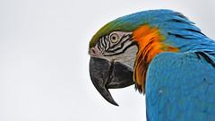 Gelbbrustara (karinrogmann) Tags: gelbbrustara papagei aragialloblu blueandyellowmacaw