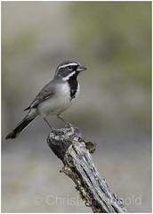 black-throated sparrow (Christian Hunold) Tags: blackthroatedsparrow songbird bird schwarzkehlammer bokeh sabinocanyon sonorandesert arizona christianhunold