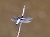 Dragonfly (deepskywim) Tags: libel gewoneoeverlibel dieren meerhout vlaanderen belgium be