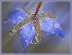 365#179 28-06-17 Water weight (Jacqui Dracup) Tags: 2017th43 morningdew raindrops borage herb blue flower weight water