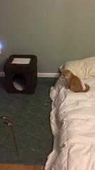 IMG_6538 (mary2678) Tags: tewksbury massachusetts ma kitty kitten cat maine coon chele kvothe