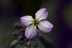 radish (jecate) Tags: radish flower bloom blossom macro plant naturescenes naturetherapy raphanus