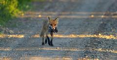 Foxy lady (tobbe_yfj) Tags: fox räv rödräv rävmedsork vulpesvulpes vulpes redfox rotfuchs fuchs zorrorojo zorro renardroux renard kettu volperossa volpe animalplanet