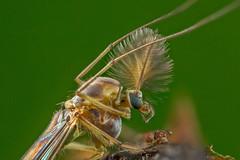Male Chironomid Midge (affectatio) Tags: macro mpe65 bug insect midge chironomidaemidge chironomidae chironomidmidge 6d canon6d focusstack zerene zerenestacker