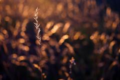 Harvest (Moments of joy) (ej - photography) Tags: bokeh nature natur harvest ernte sommer summer olympus omd em5markii mzuiko macro makro schweiz suisse svizzera switzerland 2017 halm grashalm licht light lightning evening abend backlight m60mmf28 juni june outdoor