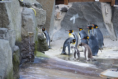 Penguins (Seventh Heaven Photography) Tags: king penguins penguin gentoo pygoscelispapua pygoscelis papua aptenodytes patagonicus aptenodytespatagonicus bird animal aves water rocks waddle rookery huddle colony baby chick nikond3200 edinburgh zoo lothian scotland