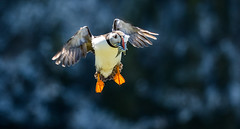 Puffin With Sandeels (hharry884) Tags: wildlife wiltshire outdoors photography birds bird nature water wild
