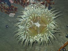 Aggregating Anemone (Norman Graf) Tags: aggregatinganemone animal anthopleuraelegantissima california naturalbridgesstatebeach seaanemone