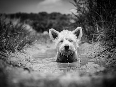 Puddle Bath (VintageLensLover) Tags: westie pippa westhighlandwhiteterrier terrier mallorca pfütze outdoor dog olympus omd m43 zuiko124028