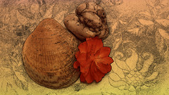 fundstücke 220170701_194443 (hans 1960) Tags: nature outdoor muschel shell stein stone herz heart blume flower blossom farben cartoon