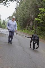 22/52/17 Josh's personal walker (Hodgey) Tags: dogs josh lab dogwalker maine summerperson 52weeksfordogs rose treatlady