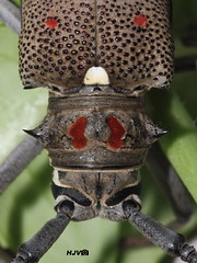 Long-horned Beetle (harshithjv) Tags: beetle insect macro longhornedbeetle mangostemborer batocera rufomaculata coleoptera polyphaga cerambycidae canon 600d tamron 90mm