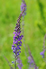 Purple Toadflax - Linaria purpurea
