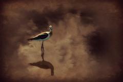 Canvas of Imagination (Christina's World aka Chrissie Bee) Tags: bird avocet americanavocet water lagoon estuary scenic creative painterly duotone