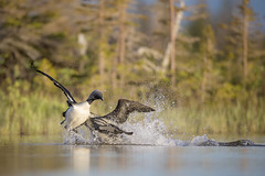 Pacific Loon Sneak Attack! (Jeff Dyck) Tags: pacific loon loons pacificloon pacificloons gaviapacifica fight attack churchill manitoba birds jeffdyck pacificdiver diver