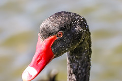 black water (I was blind now I see!) Tags: swim swimming blackswan swan black water droplets red beak nostrils eye portrait profile rolling beeds bird nature close up beautiful head neck