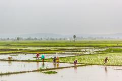 feeding a billion people (Santanu Sen) Tags: landscape india ruralindia rice ricefield sowing monsoon