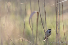 Reed Bunting (Outdoorjive) Tags: other desktop spring flikr birds dropbox places uk eastanglia norfolk kingslynnandwestnorfolkdis england unitedkingdom kingslynnandwestnorfolkdistrict gb