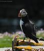 Puffin, Noss, Shetland Islands (conrad_hanchett) Tags: puffin noss shetland shetlandislands scotland nikon nikond500 june 2017 isleofnoss