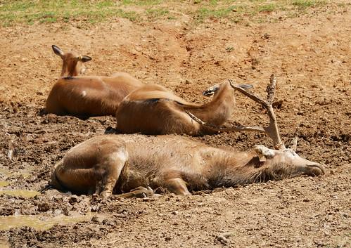 elk in the mud 2