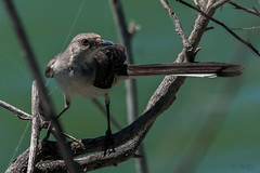 Hiding Mockingbird (MelRoseJ) Tags: sanrafael california unitedstates a77ii alpha autofocus sonyalpha sal70400g sony sonyilca77m2 nature birds mockingbird lasgallinas