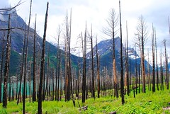 burned trees (ekelly80) Tags: montana glaciernationalpark nationalparkservice nps june2017 keisgoesusa roadtrip optoutside findyourpark mountains rockymountains goingtothesunroad sunriftgorge view scenery charred fire burnt burned trees water blue glacier beautiful walk hike green grass lake stmarylake