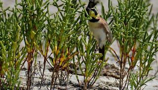 Horned lark hopping