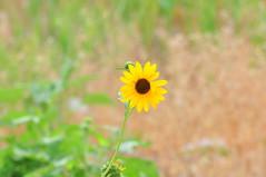 Trail side wildflower (Great Salt Lake Images) Tags: summer morning southislandtrail antelopeisland greatsaltlake utah macro wildflower blackeyedsusan