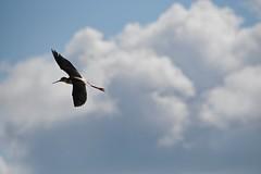 Black Neck Stilt (bmasdeu) Tags: wading birds black neck stilt flight flying nest behavior survival sky clouds