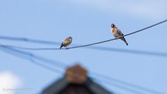 190/365 - Goldfinch (phil wood photo) Tags: 2017 2017photofun 365 70200f4l bird cardueliscarduelis day190 goldfinch nature telephoneline urban