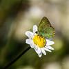 Nacer muriendo (Pilonga) Tags: papallona maricosa mariposa nacer morir metamorfosis brillar 190