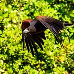 Female Harris Hawk, Akari in Flight : ハリスホークの飛翔 thumbnail